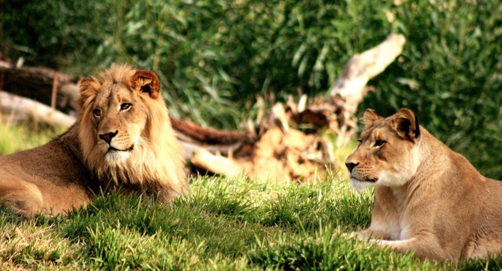 1-Lions-San-Diego-Zoo-AdobeStock_543454 (3).jpg